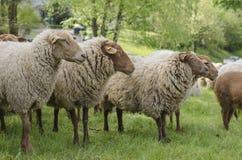 Schafschauen Lizenzfreie Stockfotos
