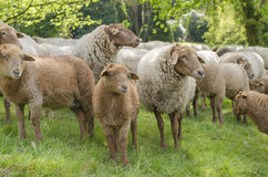 Schafschauen Stockbild