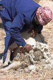 Schafscheren stockbilder