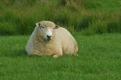 Schafstillstehen Stockfotografie