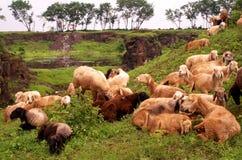 Schafstillstehen-cc$ii Stockbilder