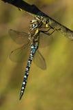 Séchage de libellule de mixta d'Aeshna sur une laver-ligne Photo libre de droits