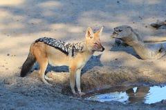 Schakal - afrikanische wild lebende Tiere - Fleischfresser der Nacht Lizenzfreies Stockfoto
