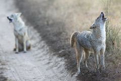 Schakale in Nationalpark Indien Kanha lizenzfreie stockfotos