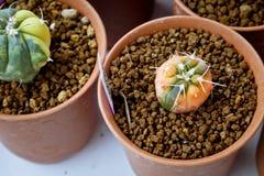 Schakeer Cactus Royalty-vrije Stock Fotografie