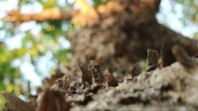 Schale der flockigen Barke Birma-padauk Baums stock video footage