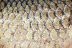 Schalen van verse vissen Cyprinus Stock Afbeelding