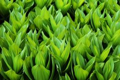 Schalenförmige Blätter Lizenzfreie Stockfotos