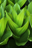 Schalenförmige Blätter Stockfoto