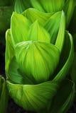 Schalenförmige Blätter Lizenzfreies Stockbild