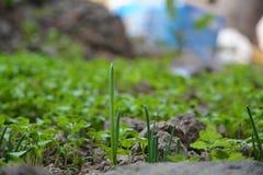 Schalottenlökar växer på jord Arkivfoto