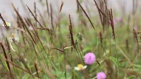 Schamhafte Sinnpflanze-Blume stock video