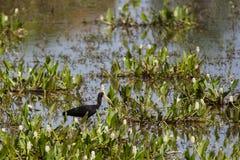 Schamloses IBIS, das unter Wasser-Hyazinthen in Muddy Marsh herumsucht Stockbild