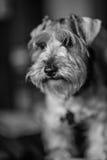 Schanauzer-Hund lizenzfreie stockfotos