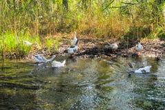 Schandaal in het bedrijf van eenden op de bank van de rivier in een zonnige dag royalty-vrije stock foto