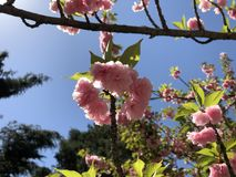 Schande Kirschblüte Stockfoto