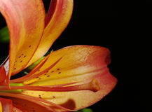 Schande und Blütenstaub der orange Lilie Stockfotos
