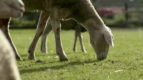 Schapen stock footage