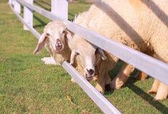 schapen Royalty-vrije Stock Afbeeldingen