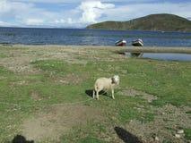 Schapen bij het meer Stock Foto