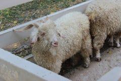 Schapen in de dierentuin Royalty-vrije Stock Fotografie