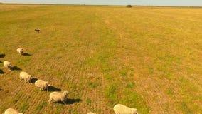 Schapen de landbouw stock videobeelden