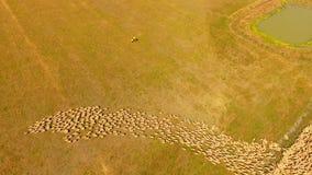 Schapen de landbouw stock footage
