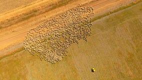 Schapen de landbouw stock video