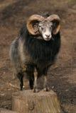 Schapen, de schapen van Gotland - ram Royalty-vrije Stock Afbeelding