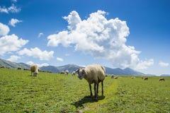 schapen in de weiden royalty-vrije stock afbeeldingen