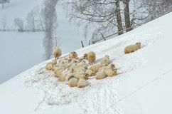 Schapen in de winterlandschap Stock Foto