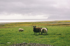 Schapen dichtbij oceaan in IJsland, mooi landschap Stock Afbeelding