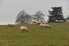 Schapen die in Cotswolds-Park in het Verenigd Koninkrijk weiden stock foto's