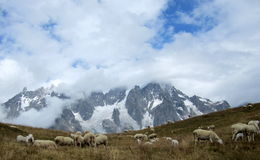 Schapen die in de Alpen weiden Stock Foto