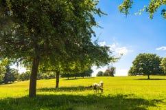 Schapen die door beukbomen weiden in de zomer Royalty-vrije Stock Foto's