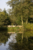 Schapen die in een meer worden weerspiegeld royalty-vrije stock fotografie