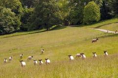 Schapen die en in het Engelse platteland lopen spelen Stock Fotografie