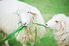 Schapen die gras eten Stock Afbeeldingen