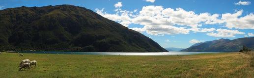 Schapen die gras eten dichtbij Wakatipu-meer in NZ Royalty-vrije Stock Foto
