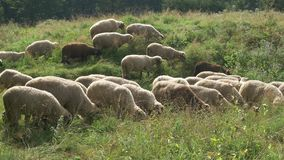 Schapen die gras eten stock video