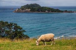 Schapen die gras met oceaanstrandmening eten in Onderstel Maunganui stock foto
