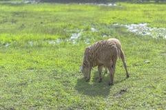 Schapen die gras op gebieden eten Royalty-vrije Stock Afbeelding
