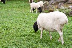 Schapen die groen gras eten Stock Afbeelding