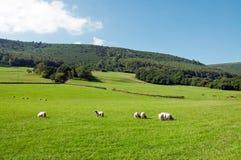 Schapen die in het Engelse platteland weiden Stock Fotografie