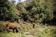 Schapen die in het mooie landschap weiden Stock Foto's