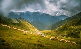 Schapen die in Karpatische bergen weiden Royalty-vrije Stock Fotografie