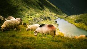 Schapen die in Karpatische bergen weiden Royalty-vrije Stock Foto's