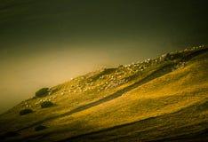 Schapen die in Karpatische bergen weiden Stock Foto's