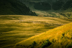 Schapen die in Karpatische bergen weiden Stock Afbeeldingen