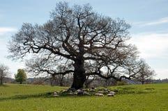 Schapen die onder de oude eiken boom ontspannen Stock Afbeelding